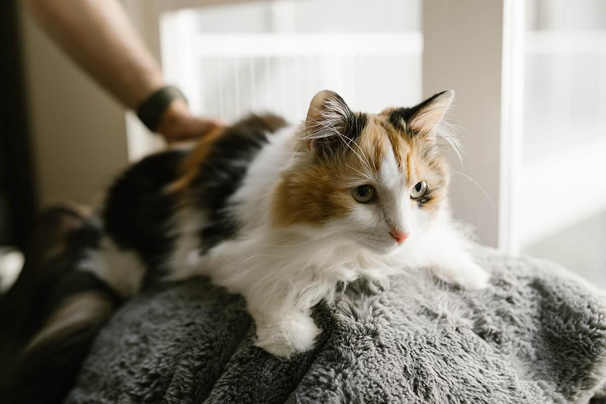 Feline Spay